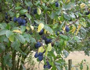 Aylesb prunes6