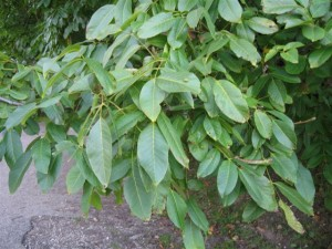 Walnut leaves