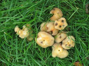 These mushrooms gave a lovely bright yellow in the dyebath.