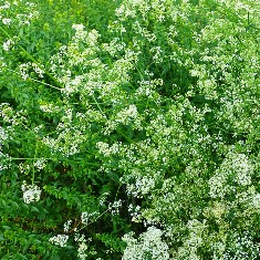 010 hedge bedstraw for blog