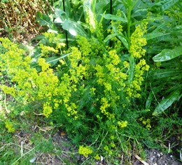 011 bedstraw for blog