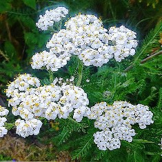 014 yarrow 2_edited-3 for blog