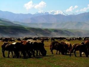 afghan cashmere goats in Badakhshan Afghanistan