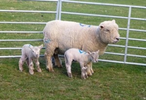 091 sheep & lambs