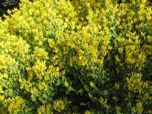 dyer's broom blog IMG_5348