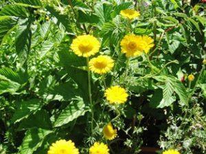 dyer's chamomile blog IMG_5322