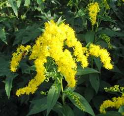goldenrod blog IMG_5352